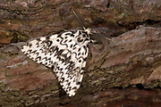 Close-up of a male black arches moth (Lymantria monacha) resting on a pine tree in a Norfolk wood in summer