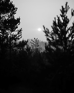 Sunrise between the pines at Whitmoor Common near Guildford, UK, on 9th Aptil 2015. Picture by Andrew Tobin/Tobinators Ltd