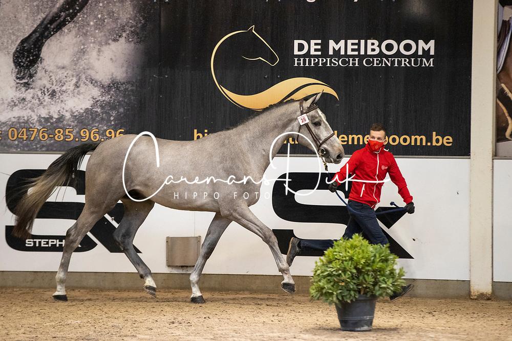 028, STB Silvio van de Koekelberg<br /> BWP Hengstenkeuring 2021<br /> © Hippo Foto - Dirk Caremans<br />  11/01/2021