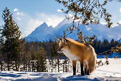 """Red Fox, Grand Tetons, Jackson Hole, Wyoming<br /> <br /> For production prints or stock photos click the Purchase Print/License Photo Button in upper Right; for Fine Art """"Custom Prints"""" contact Daryl - 208-709-3250 or dh@greater-yellowstone.com"""