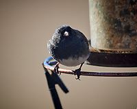 Dark-eyed Junco. Image taken with a Nikon D5 camera and 600 mm f/4 VR lens (ISO 400, 600 mm, f/4, 1/1250 sec).