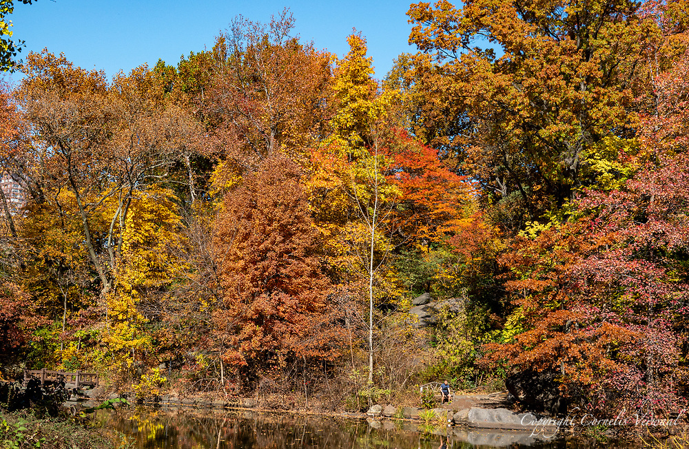 View of The Ramble in autumn colors in Central Park.