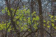 Spring in the Seine River Forest<br />Winnipeg<br />Manitoba<br />Canada