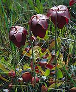 Spring bloom of Parrot Pitcher Plant, Sarracenia psittacina, Apalachicola National Forest, near Sumatra, Florida.