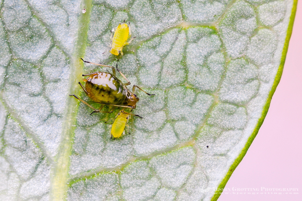 Norway, Stavanger. Small and large aphids on a leaf. Focus stack.