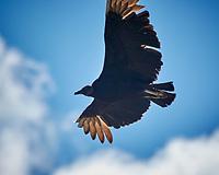 Black Vulture. Image taken with a Nikon N1V3 camera and 70-300 mm VR lens
