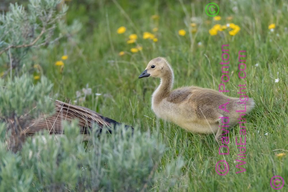 Gosling Canada goose follows adult along grassy bank of stream, Yellowstone National Park, WY, © David A. Ponton