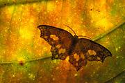 Moth on leaf, backlight pattern Mt Kinabalu, Sabah, Borneo, yellow, silhouette