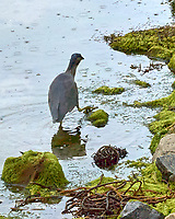 Black-crowned Night-Heron (Nycticorax nycticorax). Stanley, Falkland Islands. Image taken with a Leica T camera and 18-56 mm lens.