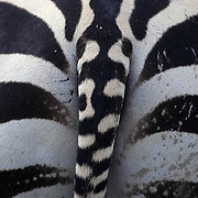 Abstracts, Hide of Burchell's Zebra. Africa.