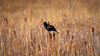 Red-Winged Blackbird on Cattails. Early Spring in Alamosa National Wildlife Refuge, Southwest Colorado. Image taken with a Nikon D300 and 80-400 mm VR lens (ISO 200, 400 mm, f/11, 1/640 sec).