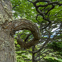 Southern beech (nothofagus) trees above Wulaia Bay on, Navarino Island, Tierra del Fuego, Chile.