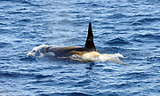 Back and dorsal fin of a male type B Killer whale or orca (Orcinus orca). Hope Bay,  Trinity Peninsula,  Antarctic Peninsula, Antarctica. 02Mar16