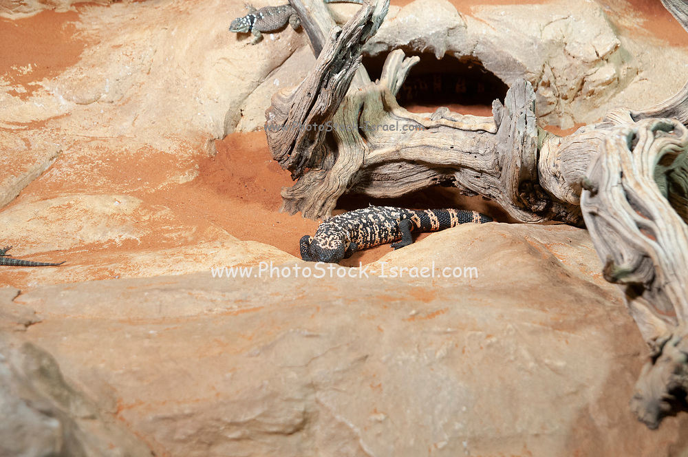 Gila monster (Heloderma suspectum) is a species of venomous lizard native to the southwestern United States and northwestern Mexican state of Sonora. Photographed at the Aquarium and terrarium building, Esterhazy Park, Mariahilf, Vienna, Austria