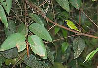 Female swallow tanager, Tersina viridis. San Jorge de Milpe Eco-Lodge, Mindo, Ecuador