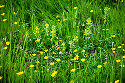 Rhinanthus minor  - Yellow rattle - growing in long grass