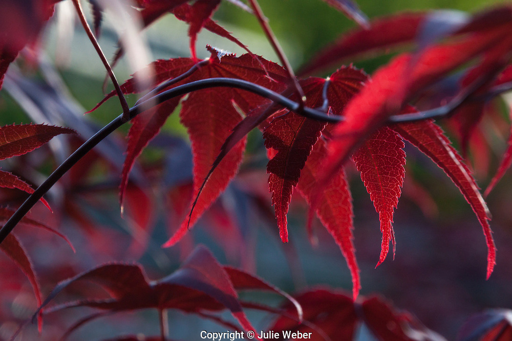 """Japanese MapleFor IMAGE LICENSING just click on the """"add to cart"""" button above.<br /> <br /> Fine Art archival paper prints for this image as well as canvas, metal and acrylic prints available here:"""