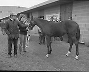 """Shergar Foal Sale. 1983.<br /> 20.11.1983.<br /> 11.20.1983.<br /> 20th November 1983.<br /> <br /> An, as yet, un-named foal  sired by the famous Shergar was on view for the first time today. The viewing was prior to the auction to be held at Goffs Sales, Kildare..Image of Mr Tommy Stack,Manager of Thomastown Stud,and Ms Yvonne Morrissey, stable girl, as they bid farewell to the colt as he leaves for the auction rooms..Note; On the 8th February 1983,""""Shergar"""",was kidnapped from the Ballymany Stud, Curragh, Co, Kildare. the IRA were the alleged kidnappers. Shergar had been syndicated for £10million by the Aga Khan,his owner. Shergar had won the Epsom Derby by a record 10 lengths. The purported ransom was £2million. Despite a large investigation the horse had disappeared and no trace of him was ever found. The story has been the subject of much controversy and has be much covered in books and film"""