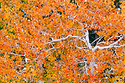 Fall aspen along Bishop Creek, Inyo National Forest, Sierra Nevada Mountains, California