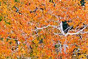 Fall aspen along Bishop Creek, Inyo National Forest, Sierra Nevada Mountains, California