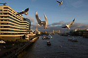 Flock of small seagulls swirling above the River Thames competing for food London, England, United Kingdom. These gulls are opportunistic birds hanging around the places where the most people are, and fight amongst themselves for anything on offer for free. (photo by Mike Kemp/In Pictures via Getty Images)