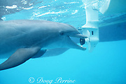 JoJo, a wild sociable bottlenose dolphin, Tursiops truncatus, remains fascinated with boat propellers despite many injuries, Turks and Caicos ( Caribbean Sea )