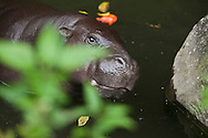 A Pygmy hippopotamus inside the Taman Safari.<br />  The Taman Safari in Bogor. Thousands of wild and nearly extinct animals live on the safari site which features a drive through animal park.<br /> Various scenes of the city of Jakarta in Indonesia.