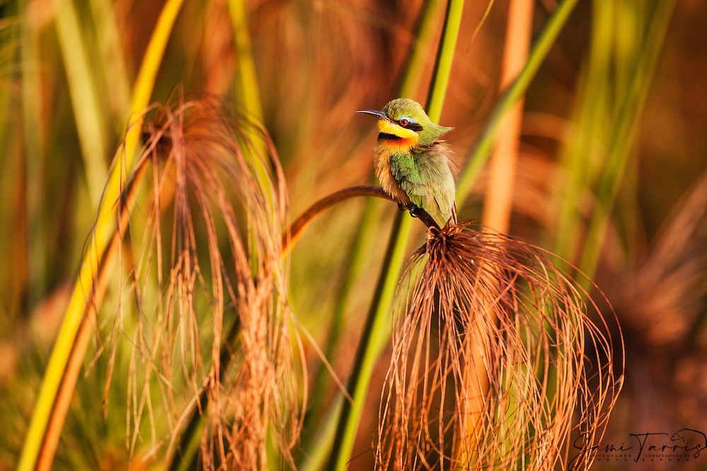 On a cool winter morning,a little bee eater (Merops pusillus) perches on a papyrus branch in the morning sun to get warm, Okavango Delta, Botswana, Africa