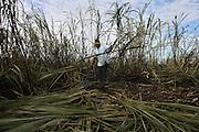 Alberto Catch, 22, from Xaibé, cuts sugar cane at the plot of local BSCFA member Leocadio Hoy. Belize Sugar Cane Farmers Association (BSCFA), Xaibé, Corozal, Belize. January 22, 2013.