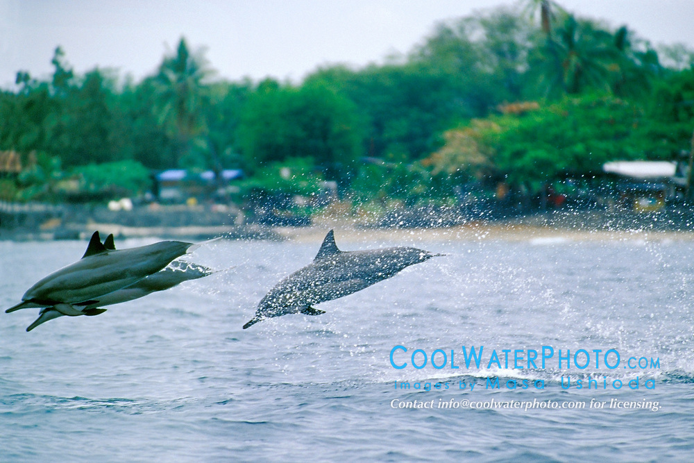 Long-snouted Spinner Dolphins, leaping, Stenella longirostris, Hookena Beach Park, Big Island, Hawaii, Pacific Ocean