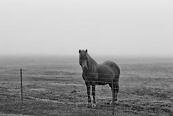 Lonely horse in the mist after the volcanic eruption in Eyjafjallajokull, Iceland -  Hestur í þoku skömmu eftir eldgosið í Eyjafjallajökli