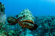 Atlantic Goliath Grouper or Jewfish(Epinephelus itajara)<br /> Jardines de la Reina National Park<br /> CUBA, Caribbean<br /> DISTRIBUTION: Florida Keys, the Bahamas, most of the Caribbean, and practically all of the Brazilian coast.