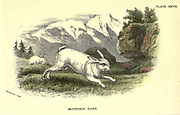 The mountain hare (Lepus timidus), also known as blue hare, tundra hare, variable hare, white hare, snow hare, alpine hare, and Irish hare, is a Palearctic hare that is largely adapted to polar and mountainous habitats. From the book ' A hand-book to the British mammalia ' by  Richard Lydekker, 1849-1915  Published in London, by Edward Lloyd in 1896