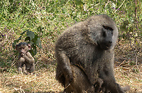 A baby Olive Baboon, Papio anubis, sits near an adult male in Ngorongoro Crater, Ngorongoro Conservation Area, Tanzania