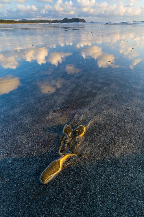 Bull kelp (Nereocystis leutkeana), May, afternoon light, Pacific Ocean coastline, Northwest Washington, USA