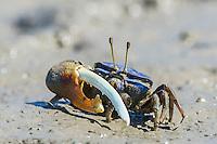 Pink-clawed Fiddler Crab, Rio Savanne, Beira, Sofala Province, Mozambique