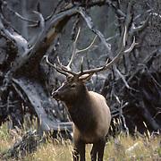 Elk (Cervus canadensis) bull in rut during the fall in Wyoming.