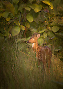 View of spotted deer in long grass, Tadoba National Park, India