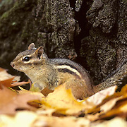 Eastern Chipmunk (Tamias striatus) sitting at the base of a tree during the fall season,  searching for acorns for the winter. .Eastern Chipmunk (Tamias striatus) sitting at the base of a tree during the fall season, searching for acorns for the winter.