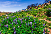 Wildflowers and hiker at Charmlee Wilderness Park, Malibu, California USA