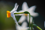 Common Daffodil (Narcissus tazetta) photographed in Israel, in December