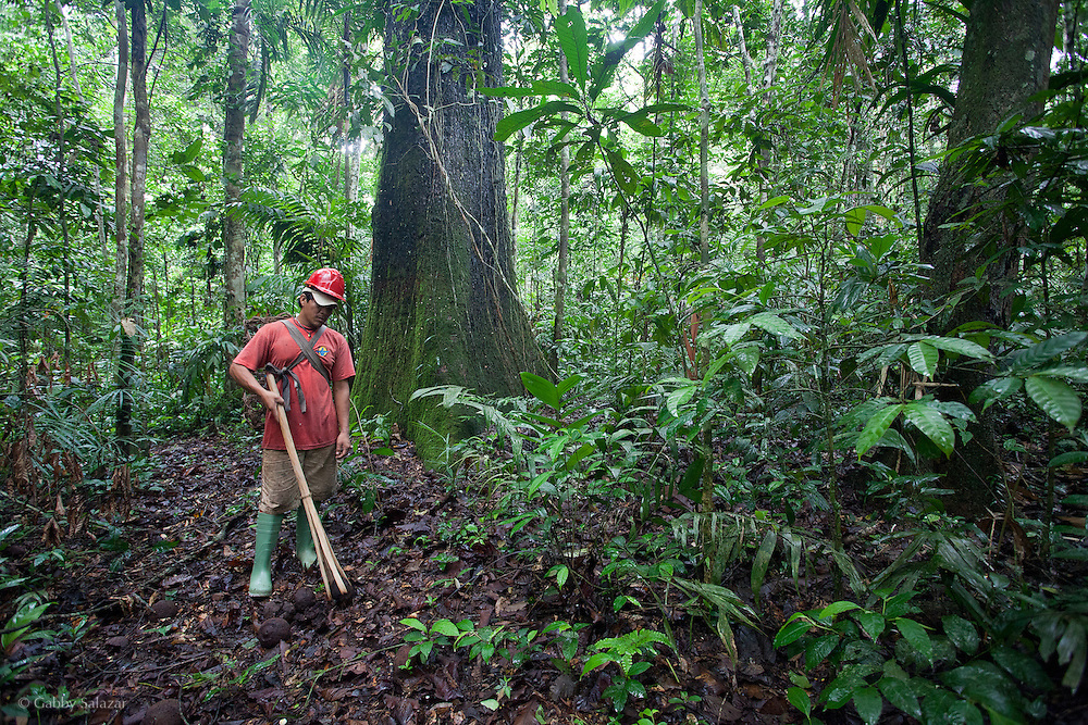 Ener Zambrano Huesembe collects collects Brazil nuts using a 'pallana' in his famiy's concession near Mavila, Peru. Brazil Nut Concession north of Puerto Maldonado on the section of the Interoceanic Highway in between Puerto Maldonado and Brazil. The concession is 2000 hectares and supported by ACCA. Brazil nut concessions are one of the many ways to protect tropical forests because Brazil nuts require primary forest to grow - they cannot be cultivated on plantations.