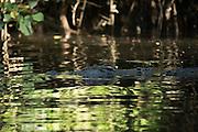 A portraite of a Saltwater Crocodille in Barratt Creek along the Daintree River.