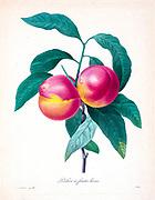 19th-century hand painted Engraving illustration of peaches on a tree by Pierre-Joseph Redoute. Published in Choix Des Plus Belles Fleurs, Paris (1827). by Redouté, Pierre Joseph, 1759-1840.; Chapuis, Jean Baptiste.; Ernest Panckoucke.; Langois, Dr.; Bessin, R.; Victor, fl. ca. 1820-1850.