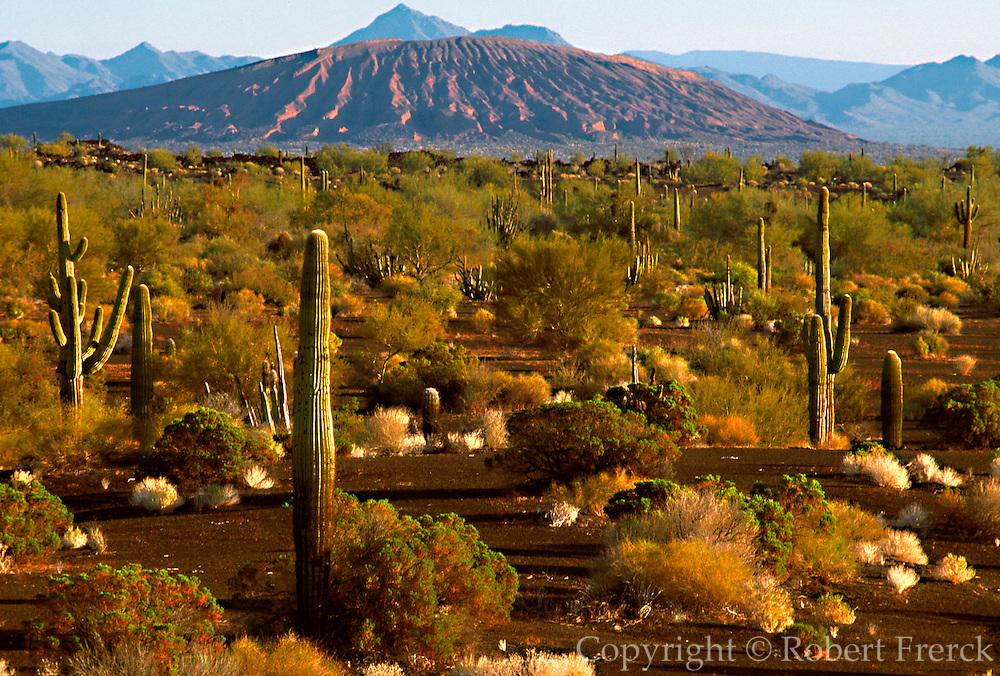 MEXICO, SONORA, SONORAN DESERT Pinacate National Park west of Nogales; Cerro Colorado volcanic cone and Saguaro cactus