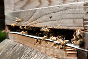 Bees coming and going in a hive in a community garden in South London. Keeping bees is a growing hobby in London and the hives and apiaries can be found in back gardens and roof tops across the capital.