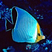 Orangeface Butterflyfish inhabit reefs. Range Red Sea & Gulf of Aden endemic.