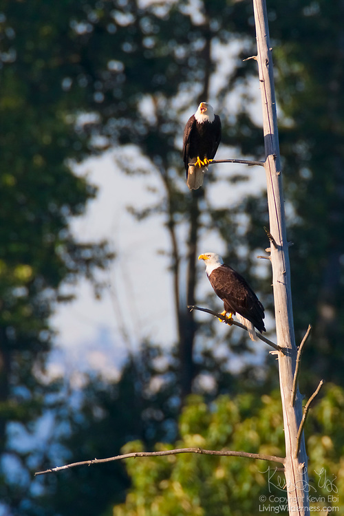 Two bald eagles (Haliaeetus leucocephalus) share a perch in an old snag in the Green River Natural Area, Kent, Washington.
