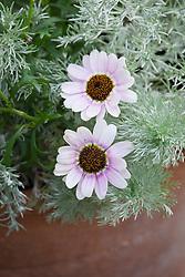Argyranthemum 'Reflection Pink' with artemisia