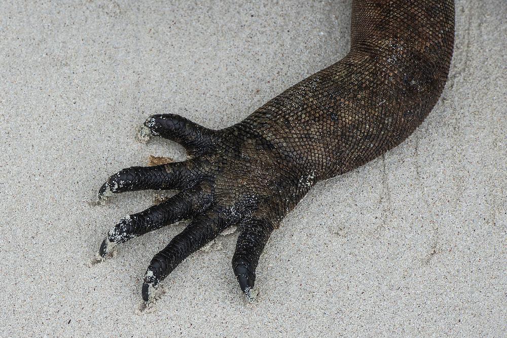 Marine Iguana (Amblyrhynchus cristatus) <br /> Tortuga Bay<br /> Santa Cruz Island<br /> Galapagos<br /> Ecuador, South America<br /> ENDEMIC TO THE ISLANDS
